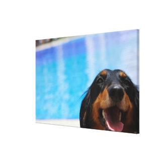 Close-up van de hond van de Tekkel het hijgen Canvas Afdruk