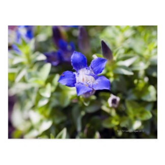 Close-up van een blauwe gentiaan flowerhead. briefkaart