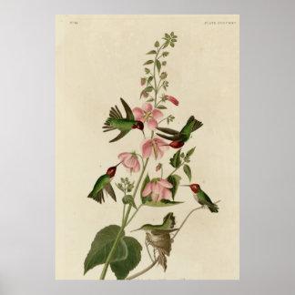 Colombiaanse Kolibrie Poster