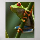 Costa Rica, Monteverde, de rood-Eyed Kikker van de Print