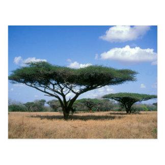 De Acacia van de Doorn van de paraplu (tortilis Briefkaart