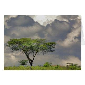 De Acacia van de Doorn van de paraplu, tortilis Briefkaarten 0