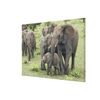 De Afrikaanse kudde van de Olifant, Loxodonta Stretched Canvas Print