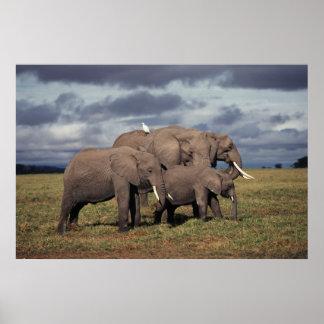 De Afrikaanse Olifant van het baby met familie Poster