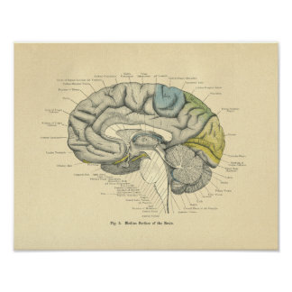 De Anatomische MiddenOppervlakte van Hersenen Poster