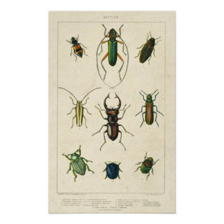 De antiek Grafiek van de Kever op Oud Bevlekt Poster