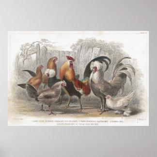 De Antiek Lithografische druk van de kip & van de  Poster