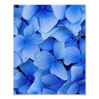 De blauwe Bloemen van de Hydrangea hortensia Foto Afdruk