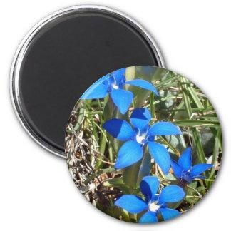De blauwe gentiaan bloeit magneet