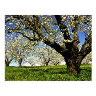 De bomen van het fruit in bloei, de Rivier van de Briefkaart