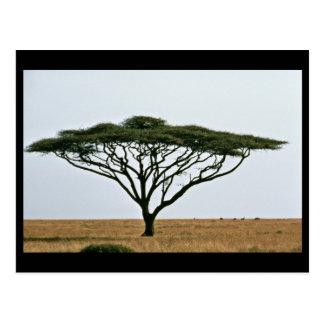 De Boom van de Acacia van de Doorn van de paraplu Briefkaart