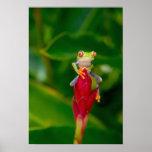 De boomkikker van het rood-oog, Costa Rica Afdruk
