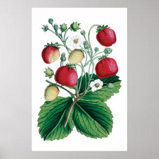 De botanische druk van AARDBEIEN Poster
