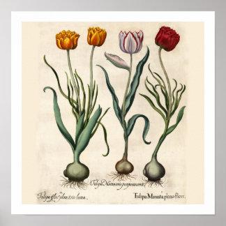 De Botanische Druk van tulpen Poster
