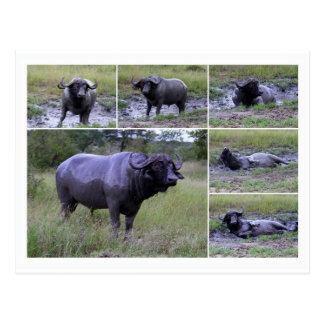 De Buffels die van de kaap van Modderbad, Briefkaart