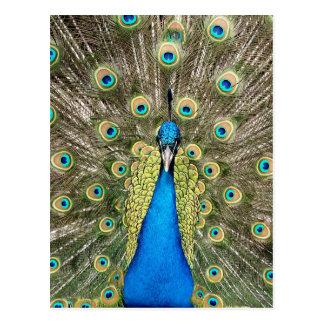De Colorful Wild Vogel Peafowl van Pedro Peacock Briefkaart