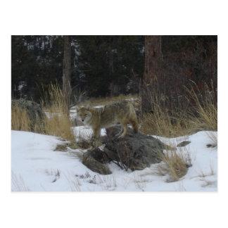 De Coyote van de Sneeuw van Colorado Briefkaart