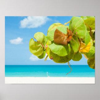 De Druiven van het Zee van Barbuda Poster