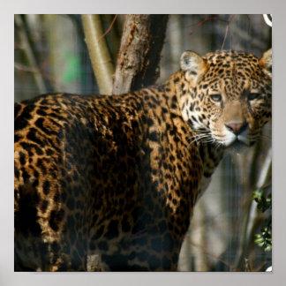 De Druk van de Foto van Jaguar Poster