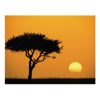 De enige die boom van de Acacia bij zonsopgang, Briefkaart