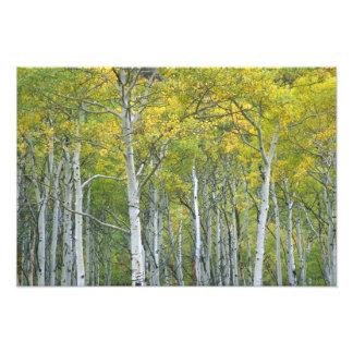 De espen van de herfst in pas McClure in Colorado Fotoafdrukken