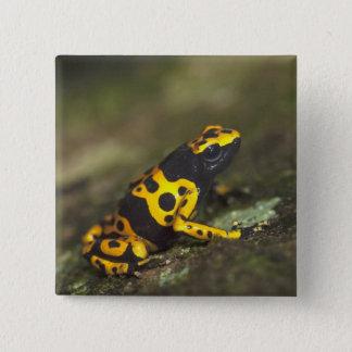 De geel-gestreepte Kikker Dendrobates van het Vierkante Button 5,1 Cm