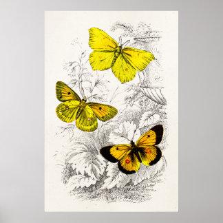De Geeloranje Sjabloon van Vlinders vintage 1800s Poster