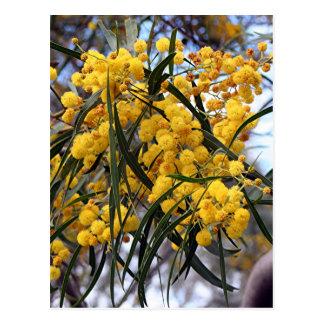 De gele Australische bloesems van de acaciaboom Briefkaart