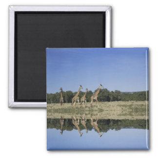 De Giraffen van Masai, Giraffa camelopardalis, Mas Magneet