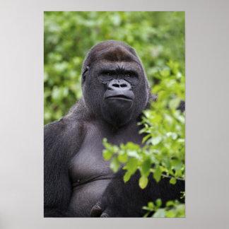 De Gorilla van het Laagland van Silverback, de gor Poster