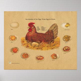 De Grafiek van de Incubatie van het Ei van de Kip Poster