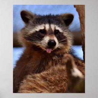 De grappige Wasbeer die het is uit Tong plakken Poster