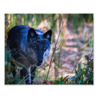 De grijze Druk van de Fotografie van de Wolf Foto Afdruk