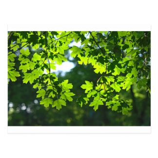 De groene esdoorn gaat backlight weg briefkaart