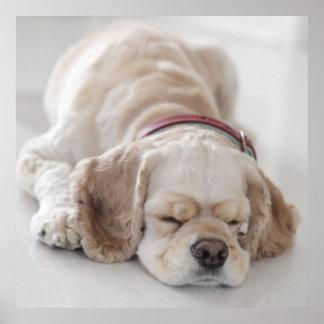 De hondslaap van de cocker-spaniël poster