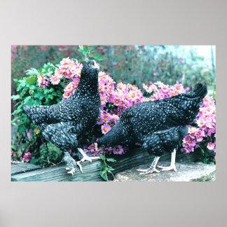 De Kippen van Marans van de koekoek Poster
