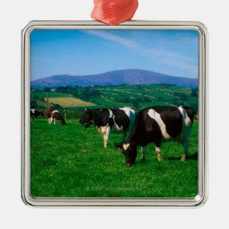 De koeien van het Friese rund dichtbij Borris, Zilverkleurig Vierkant Ornament