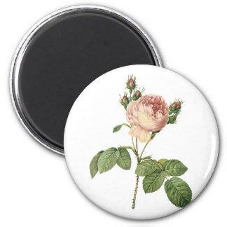 de kool nam (Rosa centifolia) met Redouté toe Koelkast Magneetjes