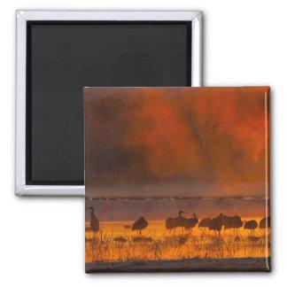 De kranen van Sandhill in zonsopgangmist 2 Magneet