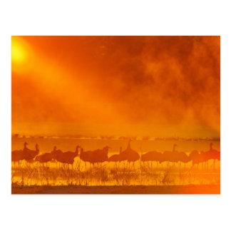 De kranen van Sandhill in zonsopgangmist 3 Briefkaart