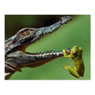 De krokodil en de Kikker Briefkaart