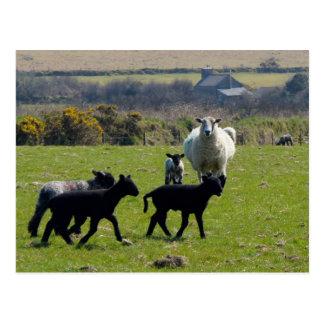 De Lammeren Bodmin van schapen leggen Cornwall Briefkaart