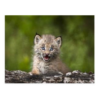 De Lynx die van het baby over A Gevallen Boom Briefkaart