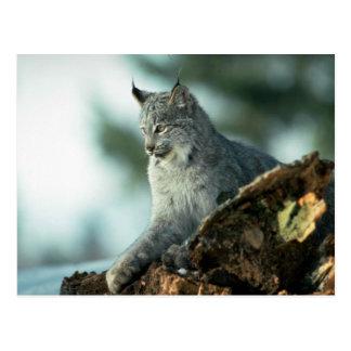 De lynx van Canada Briefkaart