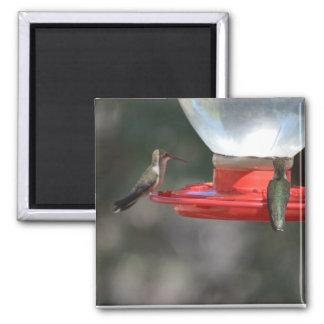De magneet van de kolibrie