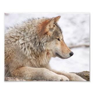 De mannelijke Wolf van het Hout in Dichte Foto Afdrukken