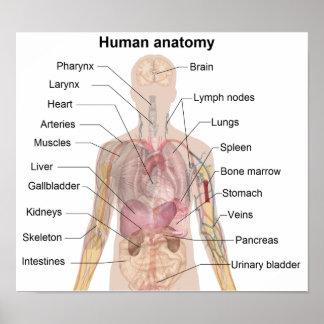 De menselijke Anatomie Poster