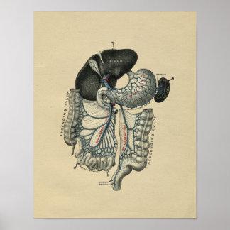 De menselijke Buik Vintage Druk van de Anatomie Poster