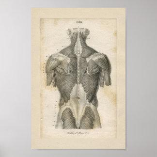 De menselijke Druk van de Anatomie van de Spier Poster