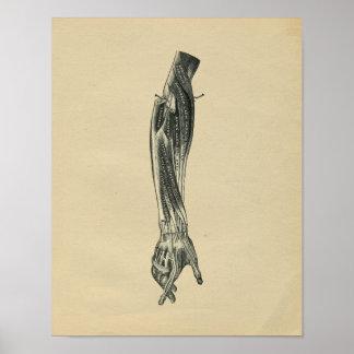 De menselijke Vintage Druk van de Anatomie 1902 Poster
